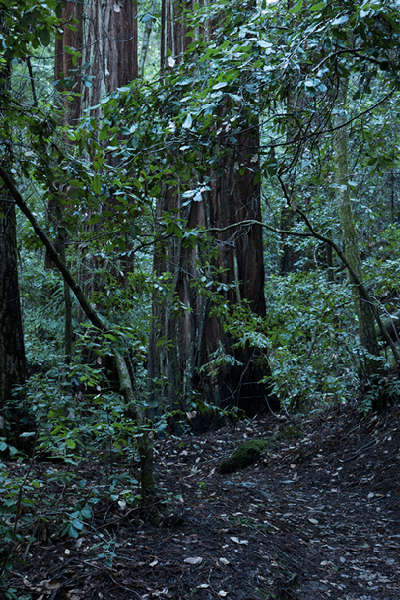 No. 484, Portola Redwoods State Park, CA 2016 © 2016 Megan W. Delaney, MegansPhotoImages, LLC : Sylvan : Megan W. Delaney Photography